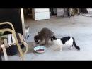ЕНОТ ВОРУЕТ ЕДУ У КОТОВ - коты приколы юмор ржач угар лучшее жесть интересное просветление порно comedy http://vk.com/prosvettlenie